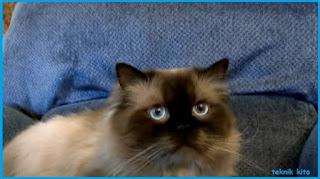 Kucing Persia Himalaya Ciri dan Penyakit Keturunannya