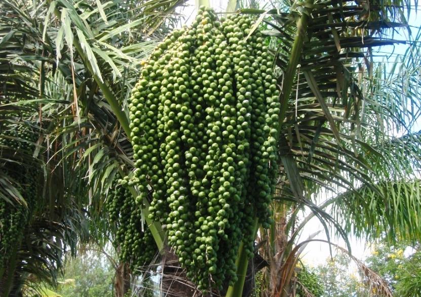 gambar untuk Tumbuhan Enau (Aren)