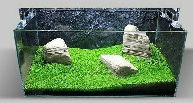 Mini dwarf gambar dari google - Gambar aquascape ...