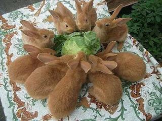 a fluffle of bunnies