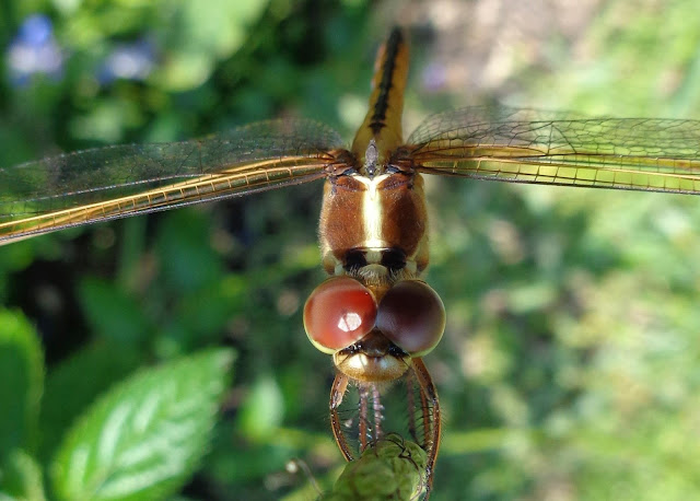 Close-up of dragonfly on porterweed