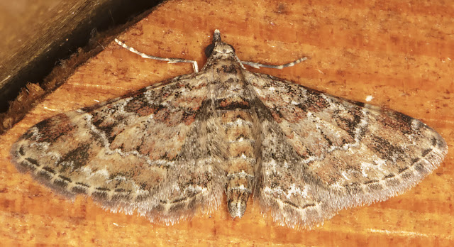 Double-striped Pug, Gymnoscelis rufifasciata.  Luxford Lane, Crowborough, 2 August 2017.