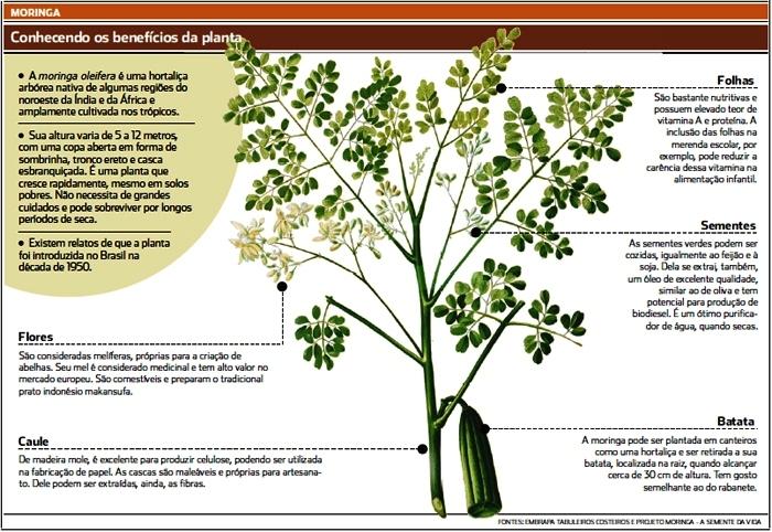 Moringa Brazil: Moringa Oleifera Quanto e como Tomar