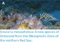https://sciencythoughts.blogspot.com/2017/06/sinularia-mesophotica-new-species-of.html