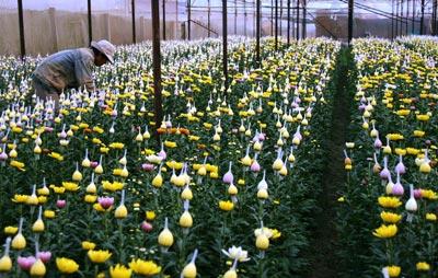 hoa Đà Lạt đạt tiêu chuẩn VietGAP