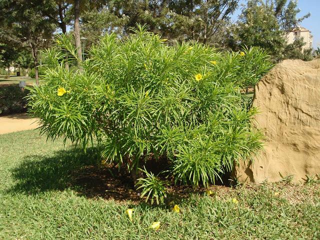 ADELFA AMARILLA: Thevetia peruviana