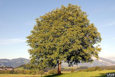Walnut tree for food