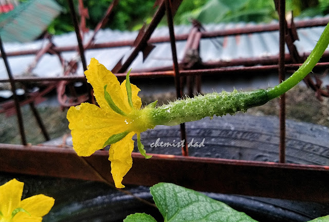 cucumber, how to grow cucumber, tips on urban gardening, urban gardening, urban planting,
