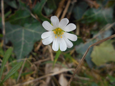 Greater Stitchwort, Devon, 7 March