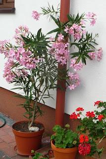 jak rozmnażać oleander z odnóżki