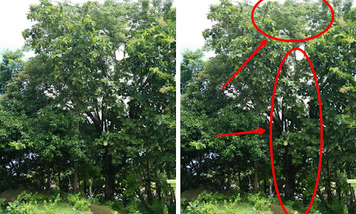 Pohon Aju Berru Kian Langka di Barru
