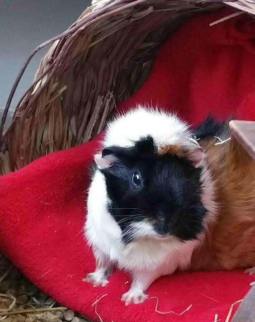 Meerschweinchen verstehen: Meerschweinchen Muck auf der Kuscheldecke