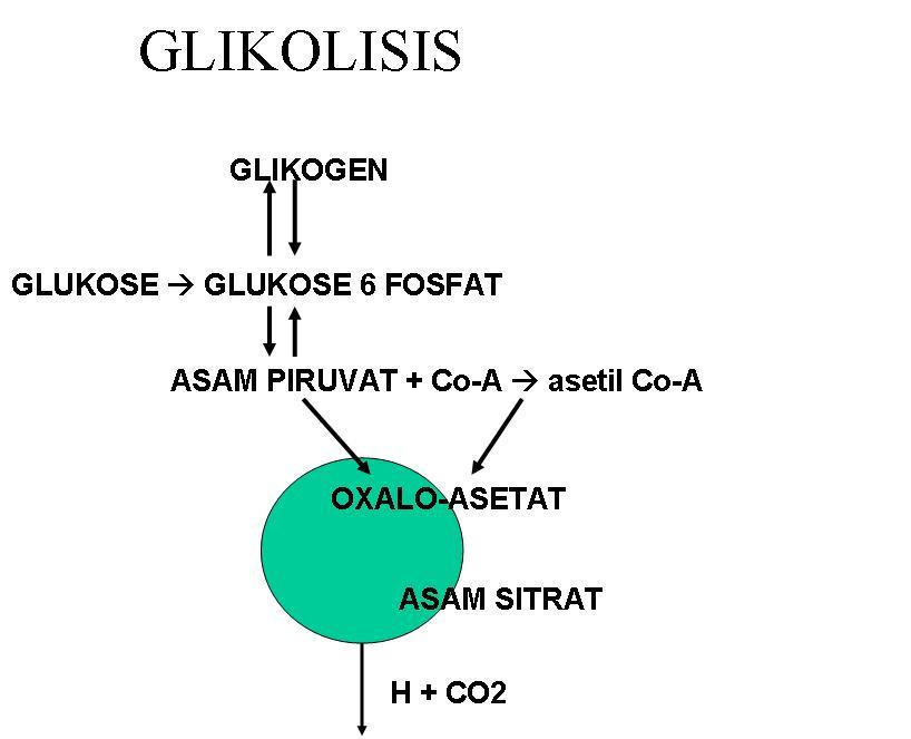Proses dan Tahapan Glikolisis