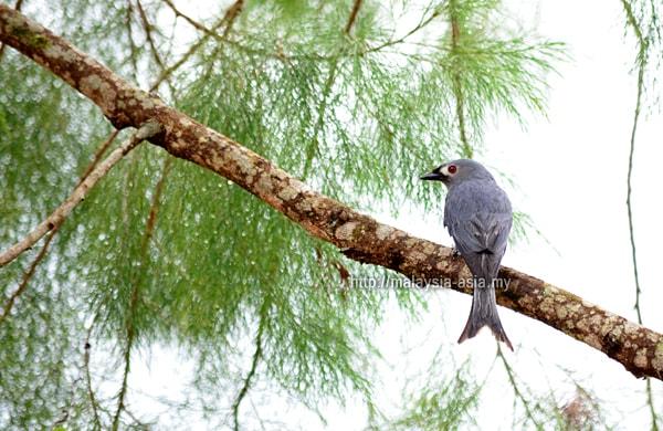 Bario Birding