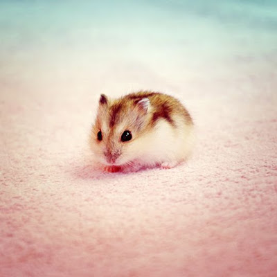 Hamsters Of Instagram: Tiny Pets, Massive Fun and Love ...