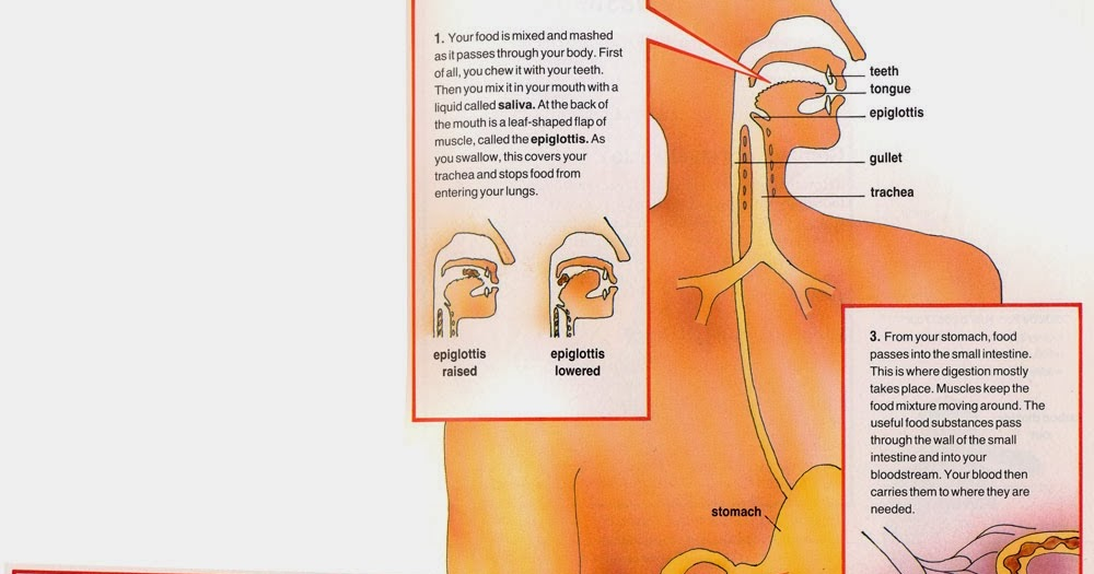 What Does The Mouth Do In The Digestive System