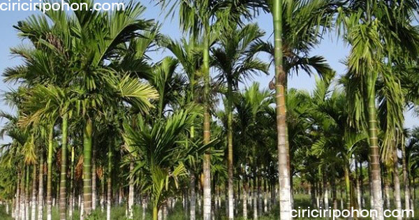ciri ciri pohon pinang