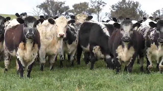 Speckle Park Cattle Pros and Cons, Facts, Price