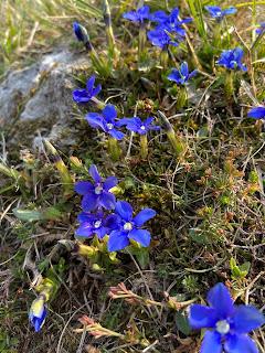 [Gentianaceae] Gentiana verna – Spring Gentian.