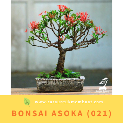 Bonsai Asoka (021)