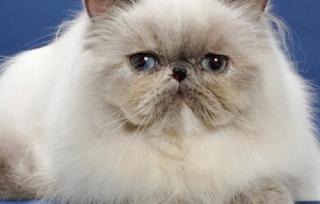 Makanan Kucing Persia dari Ahli Kucing