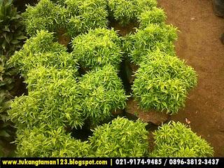 harga pohon brokoli kuning