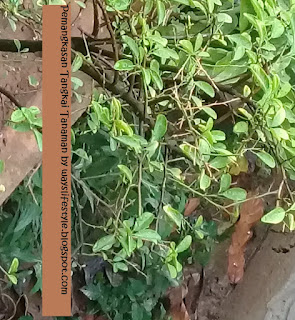 cara pemangkasan tanaman tabulampot