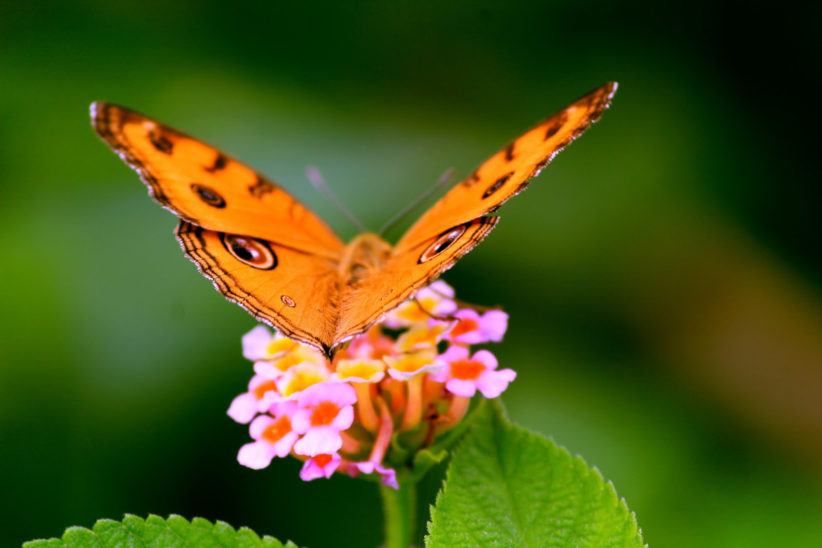 photo-of-butterfly-pictures