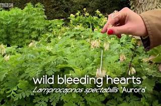 Wild Bleeding Hearts