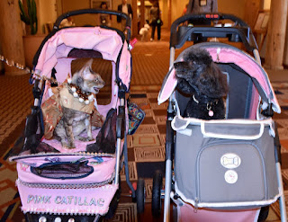 Coco, the Cornish Rex, and Rosy Rue, the poodle, at BlogPaws