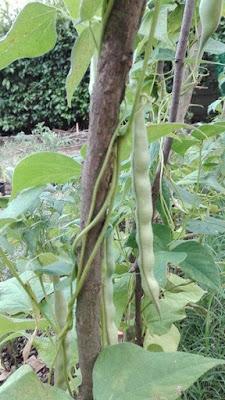 Coltivare i legumi in un orto biologico: i fagioli