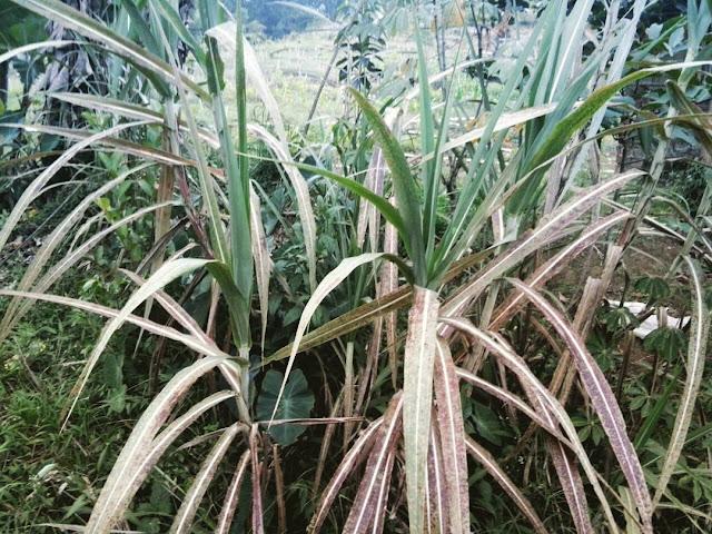 turubk-adalah-tanaman-khas-cisewu-notes-asher