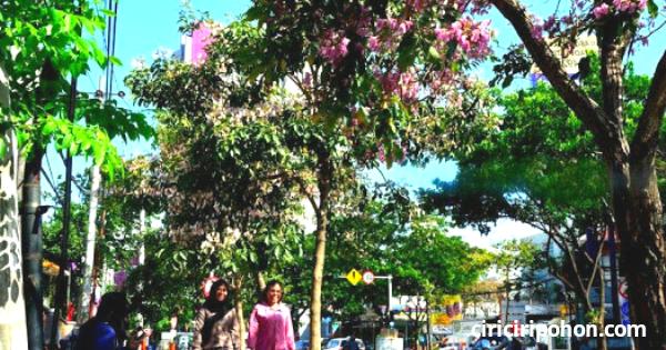 Ciri Ciri Pohon Tabebuya