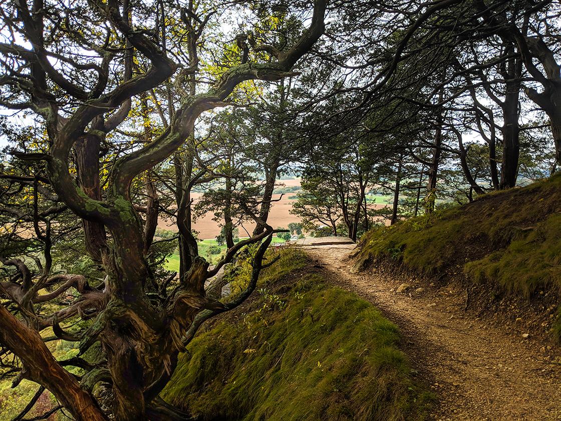 trail along edge of cliff cutting through knarled trees