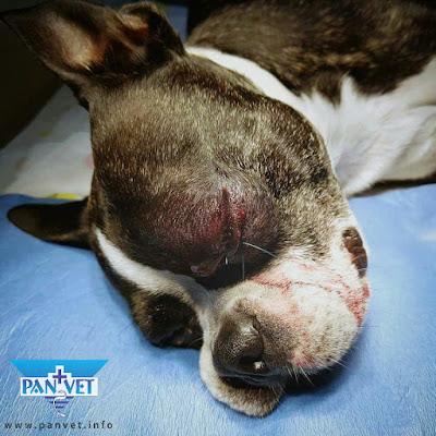 Vraćanje oka u ležište nakon povrede psa