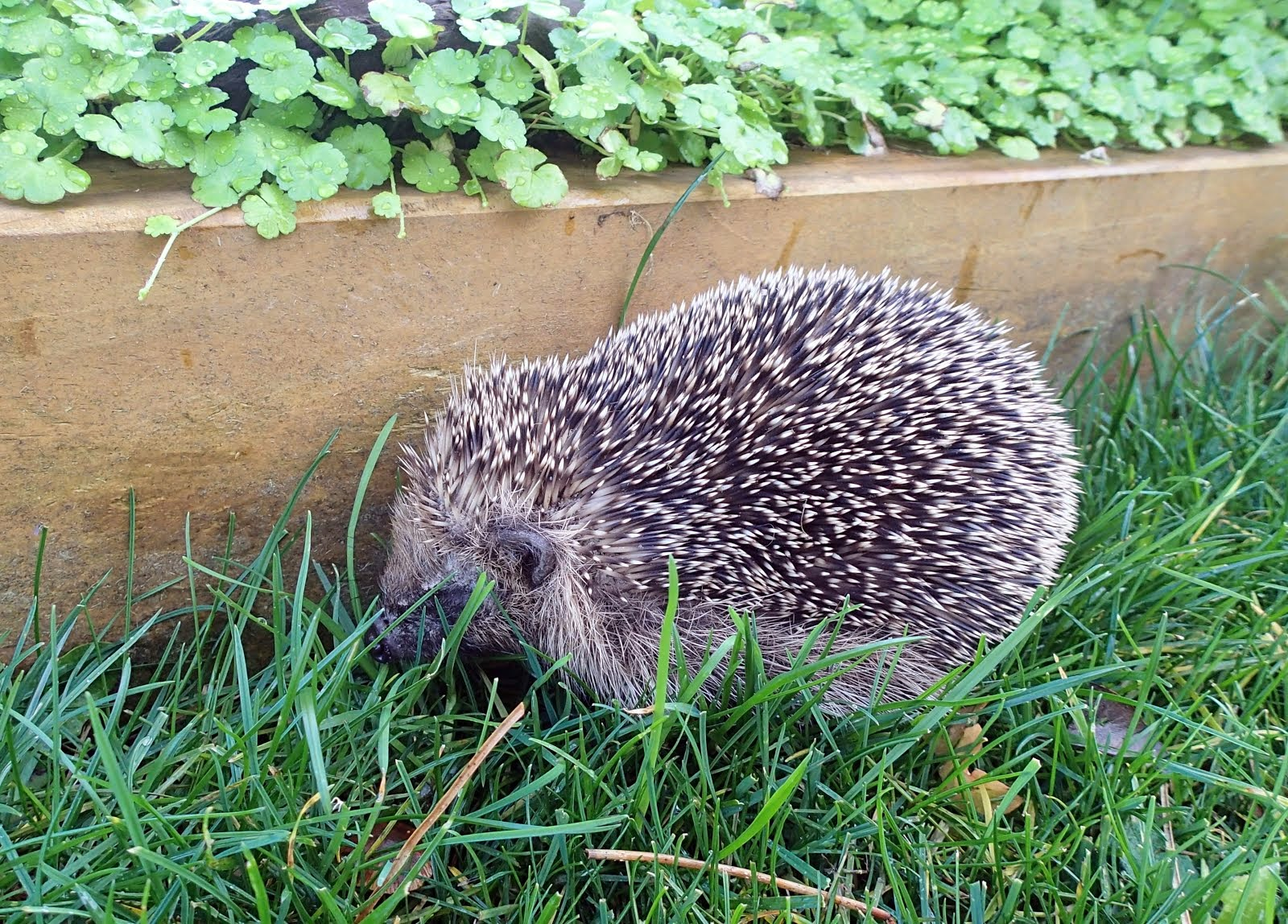 Baby hedgehog, powering around the yard today. It's moving into 'no hedgehog here' position.