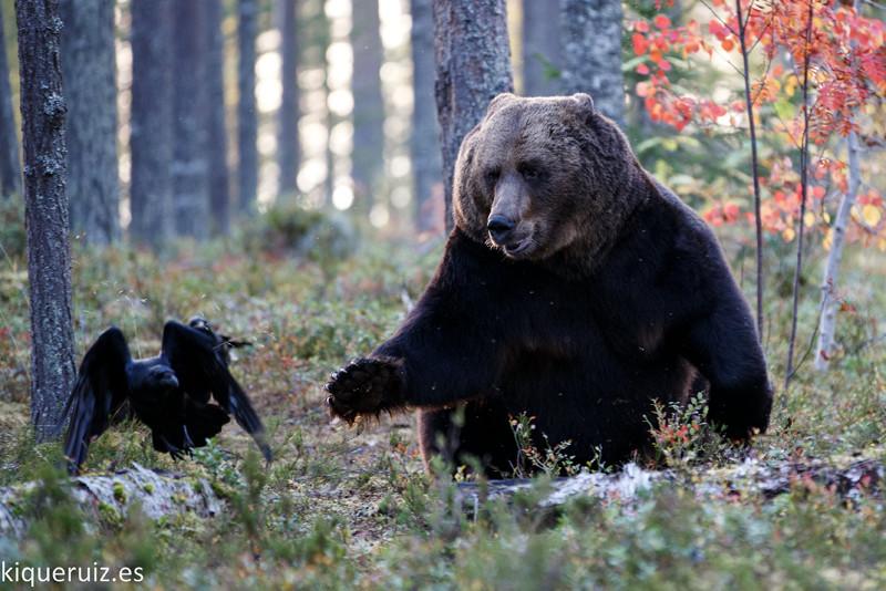 Oso pardo, la mole - Blog de fotografía y naturaleza