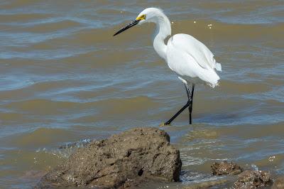 Snowy Egret, Hagerman NWR