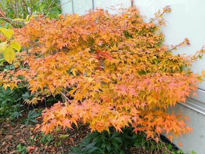 Acer palmatum Kiyo-hime  Japanese maple fall foliage at Toronto Botanical Garden by garden muses-not another Toronto gardening blog