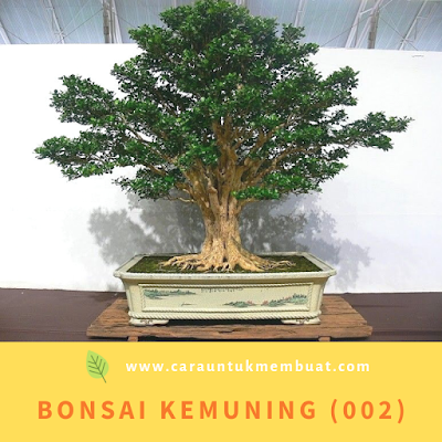 Bonsai Kemuning (002)