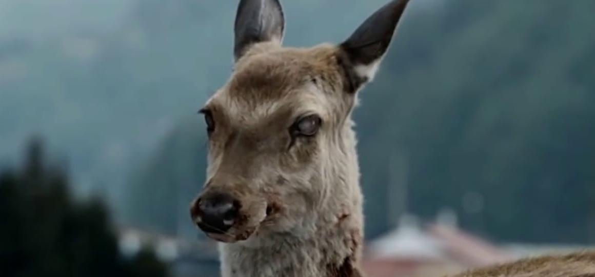 Malattia del Cervo Zombie, minaccia esseri umani?
