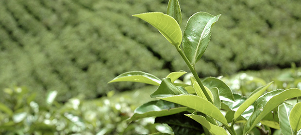 Green_Tea_online