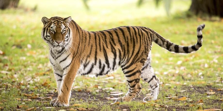 Tigre Siberiano | Siberian Tiger