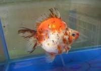 Ikan Hias Air Tawar Jenis Balon mirip koki
