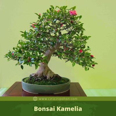 Bonsai Kamelia