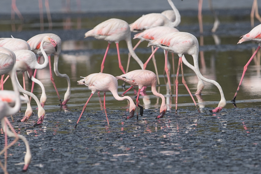 Saudi Arabia's largest flock of Lesser Flamingo – Jizan
