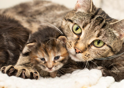 tabby cat with paw over tabby kitten