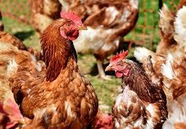 Jenis Penyakit Ayam Joper Yang Sering Menyerah Dan Perlu Diperhatikan