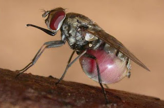 Stable Fly (Stomoxys calcitrans).Stable flies have seven spots in a checkerboard pattern on their abdomen and long, needle-like mouthparts that project forward.