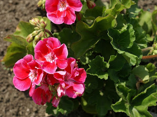 Pelargonium x hortorum 'Fantasia Strawberry Sizzle'